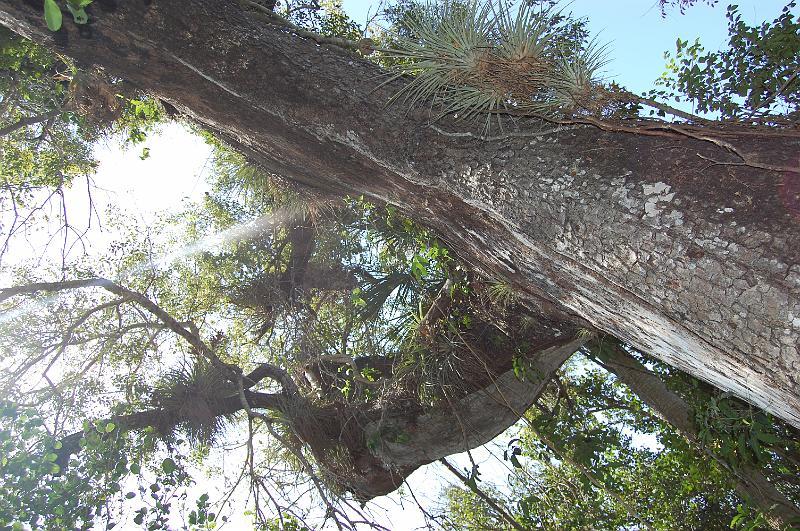 FLORIDA/7. everglades/601. mahogany hammock